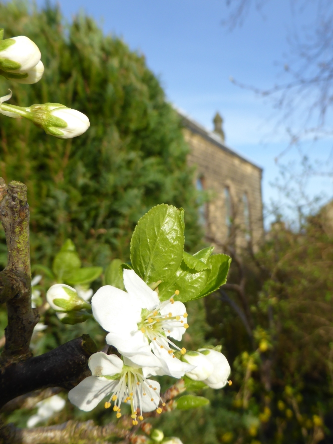 Apple blossom Baildon Methodist Church