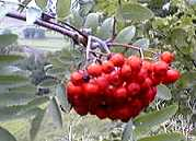 Mountain Ash fruit